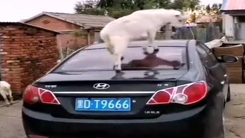 村长下乡办事,没想到村里的山羊用这种方式接待他,夜晚不愁吃羊肉串了
