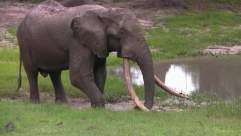 全球仅剩10头的长牙象,象牙被硬生生拔下,凄凉等死看着太寒心!