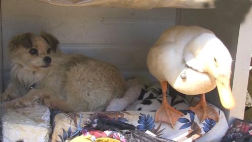 鸭子一直和狗生活在一起,见到鸭群撒腿就跑!场面一度失控
