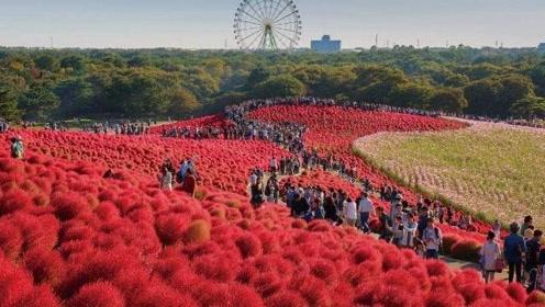 """被中日两国区别对待的植物,在中国成""""扫把"""",在日本身价暴涨千倍!"""