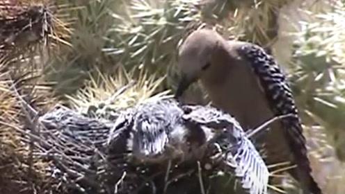 啄木鸟根本不是什么好鸟,原来我们都被骗了好多年