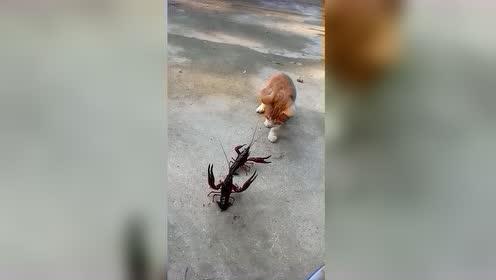 猫咪和龙虾对战,接下来的一幕,不服都不行!