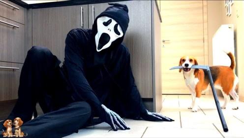 """主人在家里假扮""""死神来了"""",想吓唬自己的狗子,狗子的反应笑喷了"""