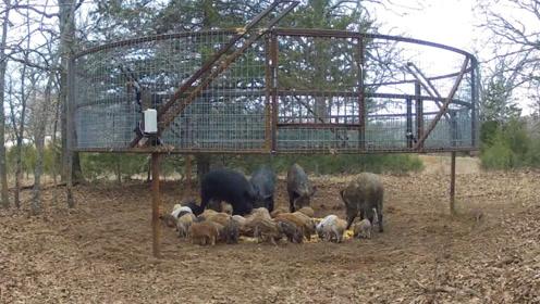 农场主设好陷阱,野猪一家吃得正开心,下秒被一网打尽