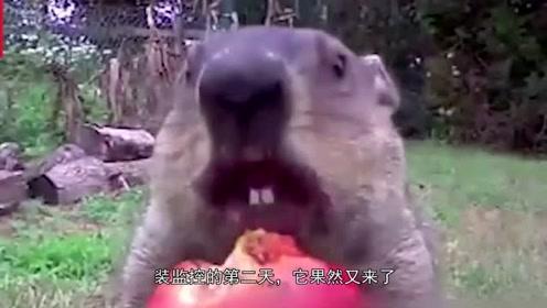 """嚣张的地鼠,站在监控器前""""偷吃""""蔬菜,让农场主哭笑不得"""