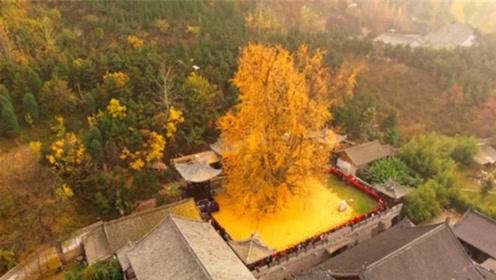 1400年前,李世民在西安栽下一棵树,如今怎么样了