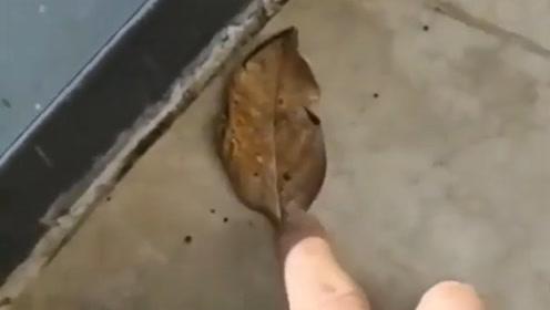 男子发现一片枯树叶,正打算捡起来,下一幕男子吓得缩回了手