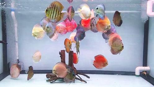 五颜六色的七彩鱼养在一个鱼缸中,第一感觉真漂亮,结果真让人心动