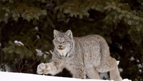 自带毛手套的野外萌猫 实际上是凶猛的狩猎者 遇到赶紧跑