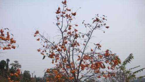 秦皇陵长出怪异柿子树,果实结出黑斑柿子,化验成分让人害怕