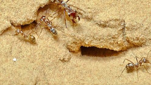 世界上最快的蚂蚁一秒47步 相当于时速579公里奔跑