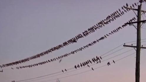 一群鸟在高压线上休息,起飞时高压线瞬间爆炸,镜头拍下意外瞬间