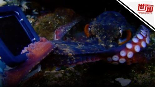 """章鱼盯上潜水者相机 于是他们在海底上演""""拔河"""""""