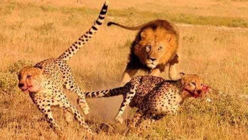 猎豹妈妈偶遇狮子,为保护幼崽直接冲向狮子,却中了调虎离山之际
