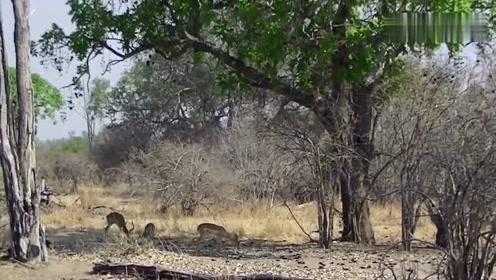 豹子躲在树上偷袭羚羊,从天而降的那一刻羚羊根本就不知道发生了什么