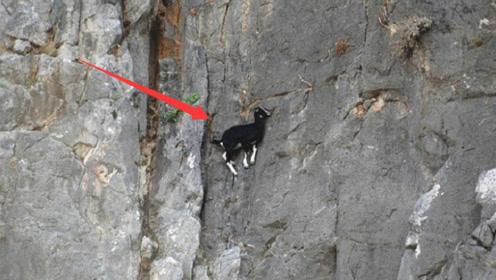 狐狸在峭壁上追杀山羊,下一秒就怀疑人生:这货到底咋做到的?