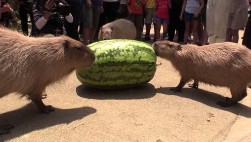重达77公斤的西瓜只能喂给动物吃?什么原因?网友:怕人吃不完吗