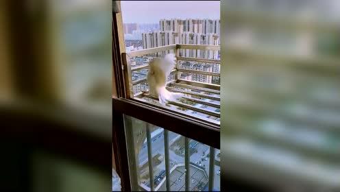 妹子:在窗台放生白鸽!差点就成另外一个故事了!