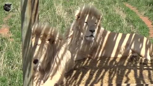 动物园的白狮子,老了已没有狮王的风范