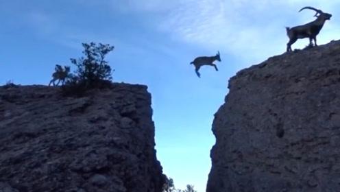 6只羚羊飞跃悬崖,镜头拍下全过程!网友:原来课本上都是骗人的