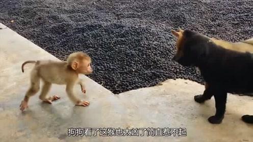 小猴子冲两只狗狗挑衅,结果两只狗狗打起来了,原因竟是这个