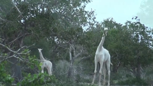 白色的长颈鹿看着跟仙女一样,一颦一蹙相当优雅,可惜就是寿命短