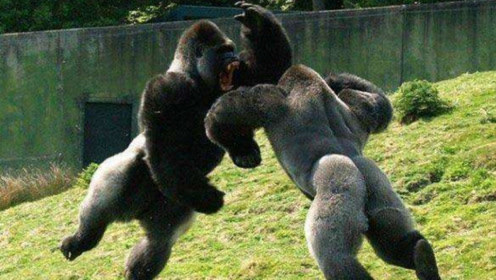 两只猩猩大打出手,得知原因后,只是为了一个马铃薯才争斗