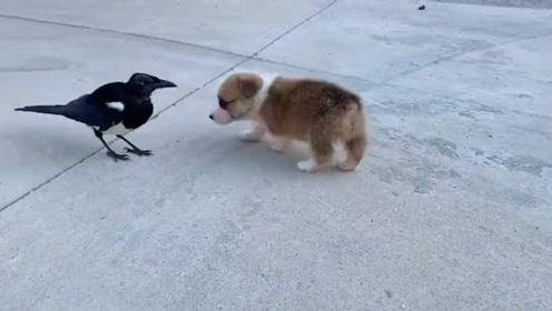 小奶狗很喜欢他的小伙伴,希望能一起长大