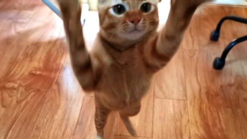 吸吸:橘猫远远闻到气味,飞奔过来讨吃的,却被铲屎官这般刁难!