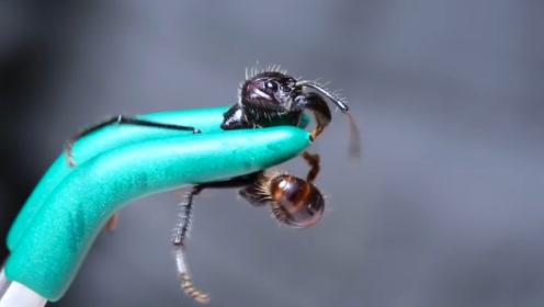 十大蜇人最疼的昆虫,排第二的我们都见过,第一名厉害了!