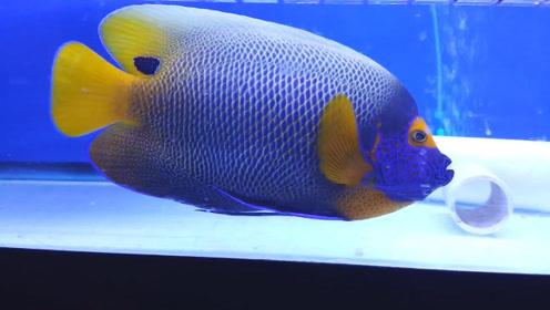 刚收回来的蓝脸天使鱼,有点孤单得给它找几个伴!