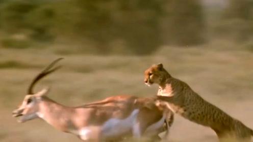 最不能受伤的动物!猎豹被羊角刺伤,镜头记录全过程