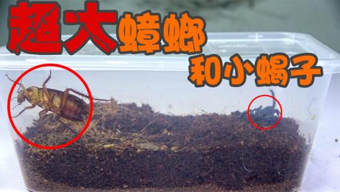 实验:以大欺小?这次我们用大蟑螂跟小蝎子放一起!