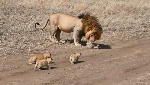 看这只雄狮是怎么带孩子的,网友差点笑岔气:当爹带娃的真实写照