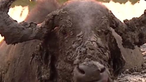 野水牛被困在泥坑里,一头狮子试图捕食,没想到也陷进去了
