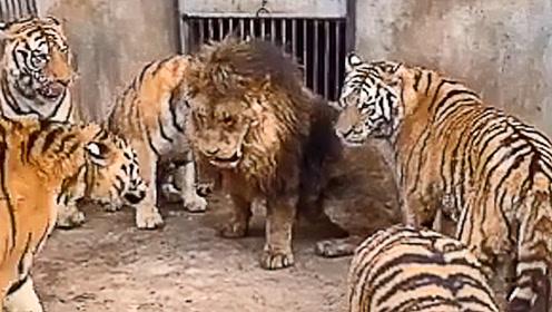 """""""黑社会""""火拼现场,一只咬中脊椎三只猛打狮脸,场面十分惨烈!"""