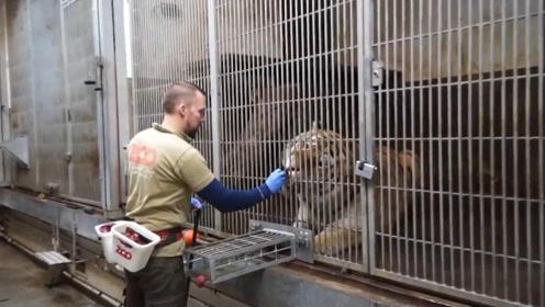 饲养员给老虎抽血,宛如完成一个大工程,几秒抽血前戏需30分钟