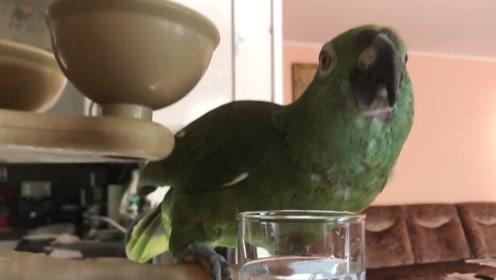 给鹦鹉喝高浓度白酒,每喝一口还要回味一下,跟真的一样