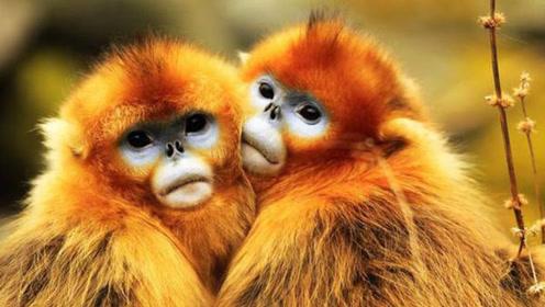 这就是为什么金丝猴是特级保护动物,猕猴是二级的原因
