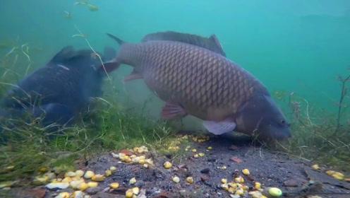 钓鱼:用玉米粒打窝后,超级大鲤鱼也开始进窝了!