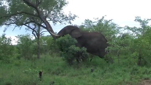 大象的破坏力有多大?一颗碗口大的小树,几下就被推倒了