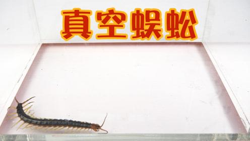 蜈蚣在极端的环境下,身体居然开始膨胀,最后会怎么样呢?