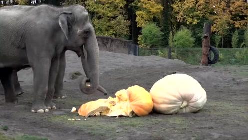 大象盯上了巨型南瓜:看看这味道怎么样?