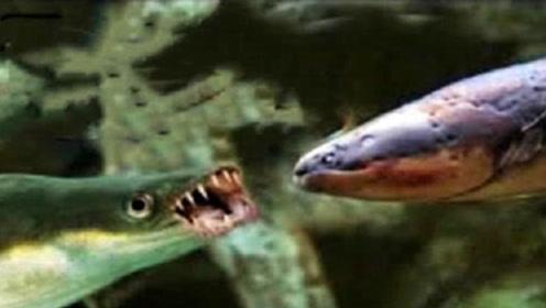 食人鱼被老外饿了8天后,扔一条电鳗进去,场面瞬间无法把控