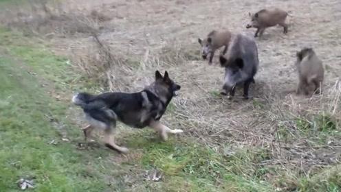 猎犬路边欺负小野猪,下一秒后悔莫及,遭遇野猪妈妈疯狂攻击