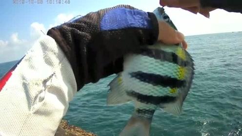 海钓矶钓,狂拉连竿五线雀鲷鱼,其他鱼没机会上钩