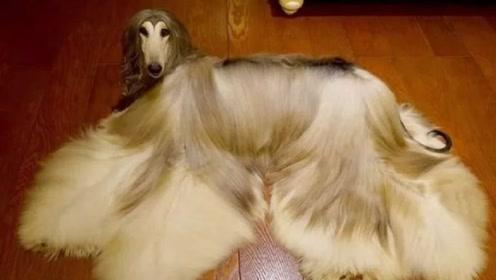 世界上最漂亮的狗狗,在我国却被禁养?看完明白国家良苦用心