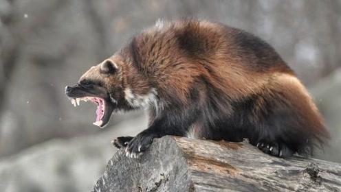 大兴安岭一不足50斤的动物,敢从狗熊嘴里抢肉,比大熊猫更稀有