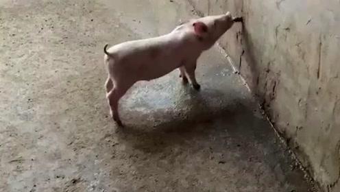可爱死了!猪猪:一口菜一口汤,生活更健康!