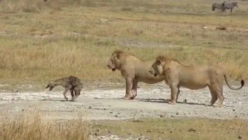 鬣狗挑衅狮子,惨遭咬断后腿,镜头拍下全过程